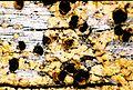 Cyphelium tigillare-3.jpg