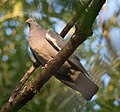 DSC 2118 Pigeon ramier Columba palumbus (50030798622).jpg