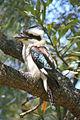 Dacelo novaeguineae -in tree-8.jpg