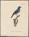 Dacnis cayana - 1825-1834 - Print - Iconographia Zoologica - Special Collections University of Amsterdam - UBA01 IZ19000369.tif