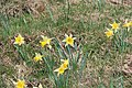 Daffodils at the Colomby de Gex - panoramio (1).jpg