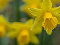 Daffodils on St. David's day (12877134033).jpg