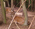 Deer Groombridge.JPG