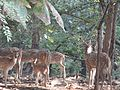 Deers of Gir,Gujrat.jpg
