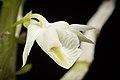 Dendrobium trinervium (Indo-China or Malaysia) Ridl., J. Linn. Soc., Bot. 32- 242 (1896) (37273755871).jpg