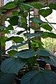 Dendrocnide moroides (Gympie Gympie) 6.jpg