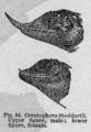 Descent of Man - Burt 1874 - Fig 34.png