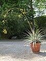 Deuterocohnia glandulosa (TS) 2-01787.jpg
