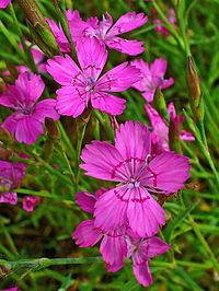 Dianthus deltoides 002.JPG
