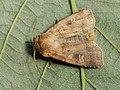 Diarsia rubi - Small square-spot - Земляная совка подорожниковая (41080670161).jpg