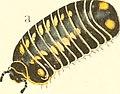 Die Myriapoden - getreu nach der Natur abgebildet und beschrieben (1863) (20924625822).jpg