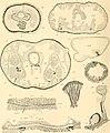 Die pelagischen Nemertinen (monographisch dargestellt) (1917) (20316425834).jpg
