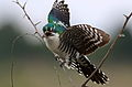 Diederik cuckoo, Chrysococcyx caprius (male), at Rietvlei Nature Reserve, Gauteng, South Africa (23005986024).jpg
