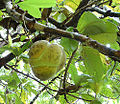 Dillenia indica, the Elephant Apple (14215527756).jpg
