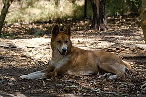 Canid hybrid - A dingo with an unusual color pattern