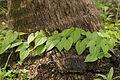 Dioscorea bulbifera 03794.JPG