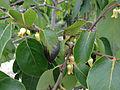Diospyros virginiana - American Persimmon.jpg