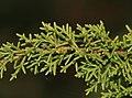 Diselma archeri (Tasman Juniper) (31258292216).jpg