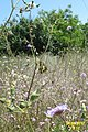 Distant swallowtail (Vol) (35084230573).jpg