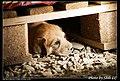 Dogs (5081438908).jpg