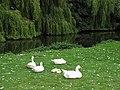 Domestic geese and goslings - geograph.org.uk - 882346.jpg
