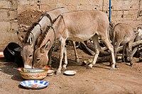Donkeys eating.jpg