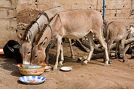 Donkeys eating.jpg