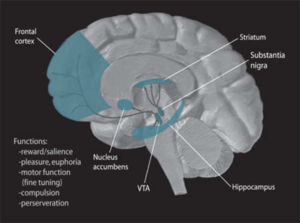 Antiparkinson medication - This picture shows the dopamine pathways in the brain.  The goal of antiparkinson agents is to restore these pathways to full function.