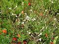 DownsRanscombePoppysWildflowers0729.jpg