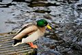 Duck Sauce (4199664084).jpg