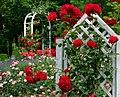 Duftende Schönheit, der Rosengarten im Kurpark Bad Mergentheim. 03.jpg