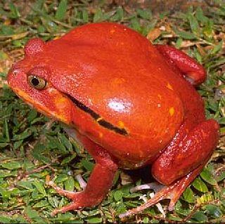 <i>Dyscophus antongilii</i> Species of frog