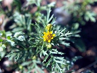 <i>Dyssodia</i> genus of plants