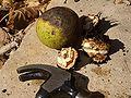 E9014-cracking-black-walnut.jpg