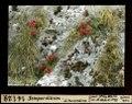 ETH-BIB-Sempervivum, ob Pontresina-Dia 247-14129.tif