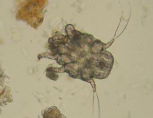 Ear mite - Otodectes cynotis