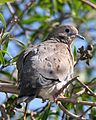 Eared Dove (Zenaida auriculata) - Flickr - Lip Kee.jpg