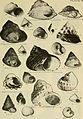 East coast marine shells - descriptions of shore mollusks together with many living below tide mark, from Maine to Texas inclusive, especially Florida, with more than one thousand drawings and (21139280851).jpg