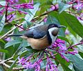Eastern Spinebill. Acanthorhynchus tenuirostris - Flickr - gailhampshire.jpg