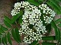 Eberesche Knospen und Blüten.JPG