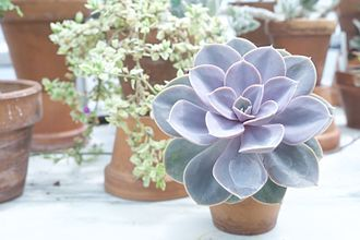 "Award of Garden Merit - Echeveria ""Perle Von Nurnberg"" A winner of the Award of Garden merit."