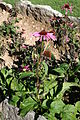 Echinacea angustifolia ENBLA02.jpg