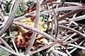 Echinocactus polycephalus (8949423591).jpg
