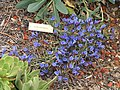 Echium gentianoides - University of California Botanical Garden - DSC08941.JPG