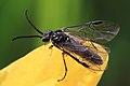 Echte Blattwespe Tenthredinidae - Dolerus sp.gonager o. puncticollis 6890.jpg