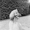 Een hond, Bestanddeelnr 254-5481.jpg