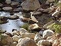 Egretta thula 59471203.jpg