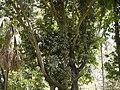 Elaeodendron orientale (4609000199).jpg