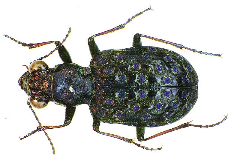 File:Elaphrus cupreus bl.jpg