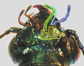 Elaphrus cupreus detail4 tags added.png
